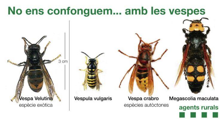 identificar vespa velutina 2