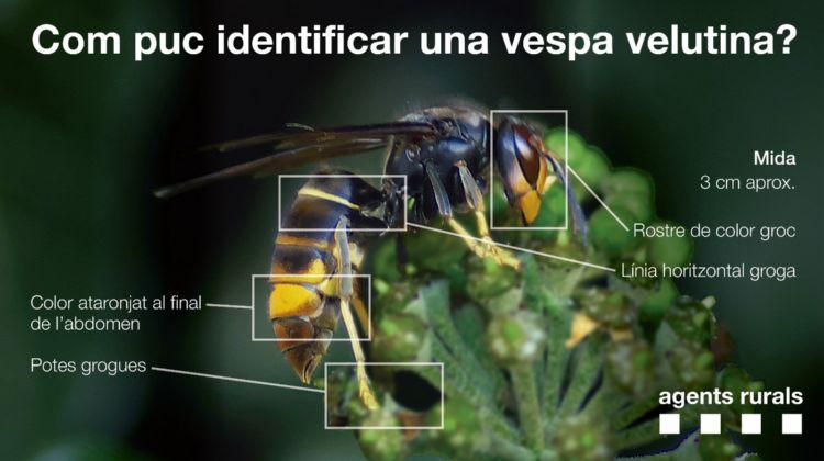 Els Agents Rurals han identificat la presència de vespa asiàtica a l'Esplai del Penedès