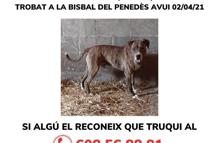 Gos perdut: si el reconeixeu truqueu al 608568881