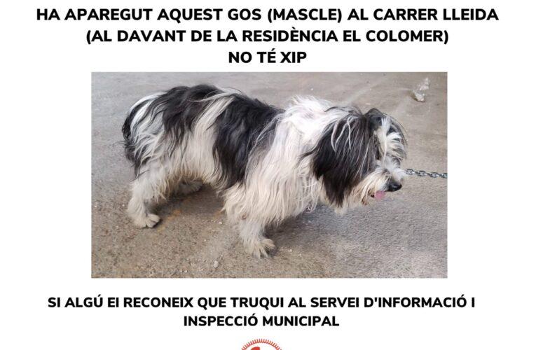 Gos perdut: si el reconeixeu truqueu al 678595959
